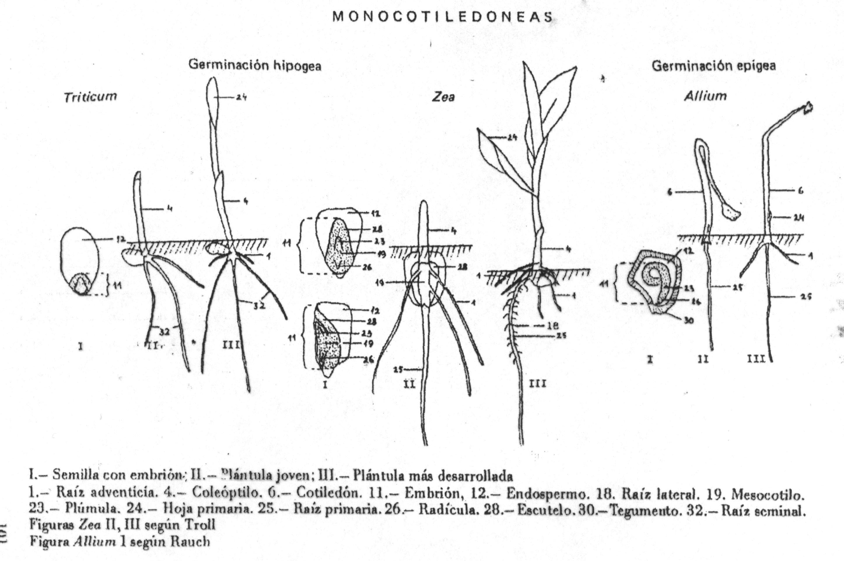 Diferencias en raiz entre monocotiledoneas y dicotiledoneas? | Yahoo ...